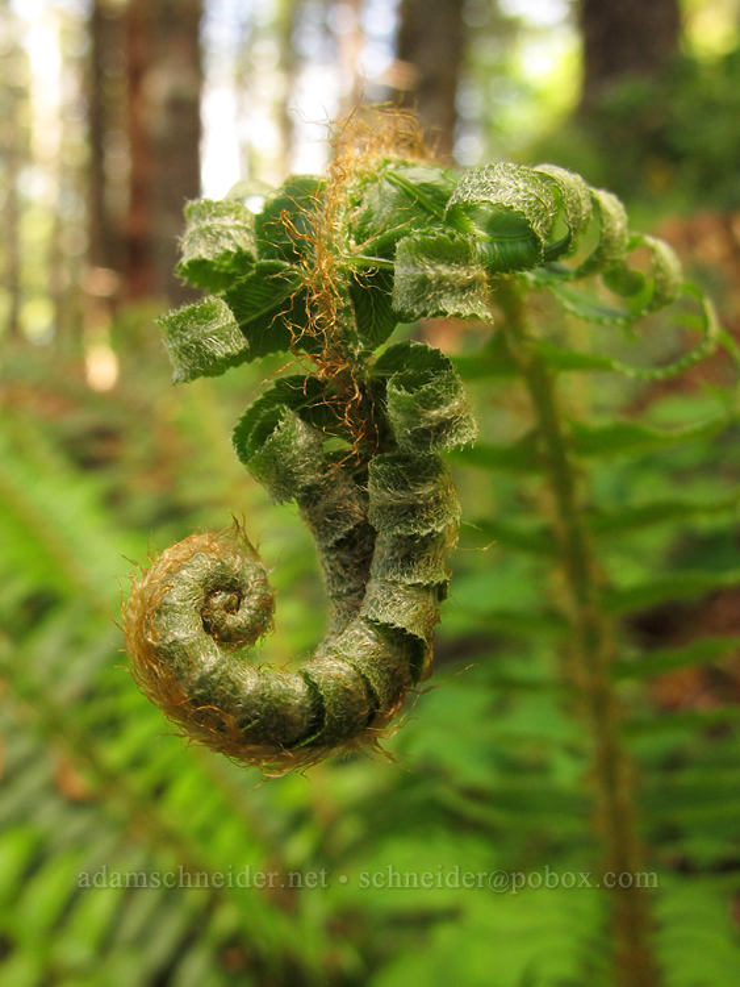 sword fern, looking like an elephant (Polystichum munitum) [Elk Mountain Trail, Tillamook State Forest, Oregon]