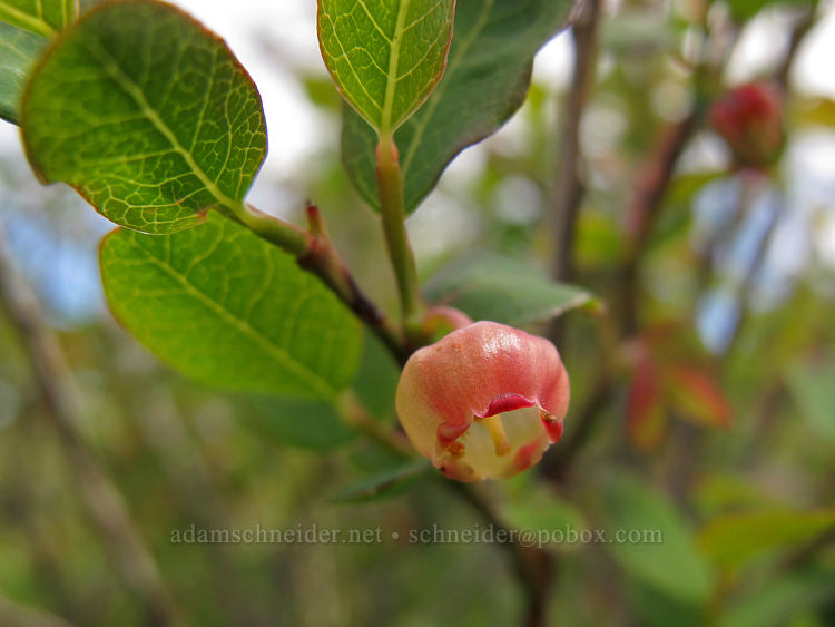 blueberry flower (Vaccinium ovalifolium (Vaccinium alaskaense)) [Elk Mountain summit, Tillamook State Forest, Oregon]