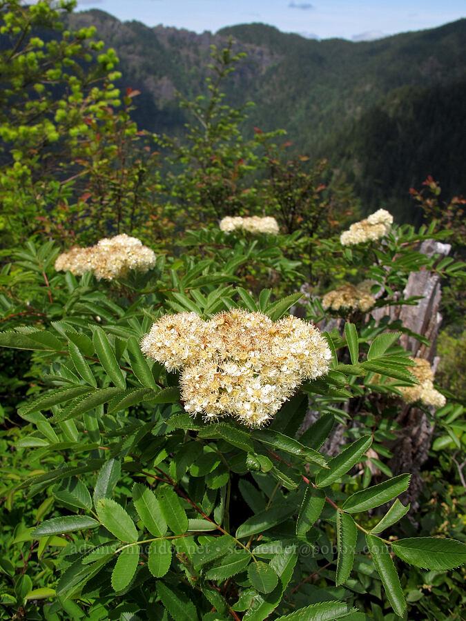 Cascade mountain ash (Sorbus scopulina) [Elk Mountain summit, Tillamook State Forest, Oregon]