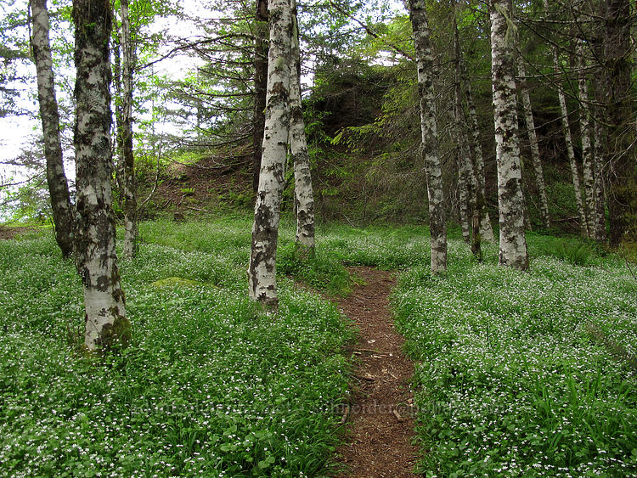 candyflower glen (Claytonia sibirica) [Elk Mountain Trail, Tillamook State Forest, Oregon]