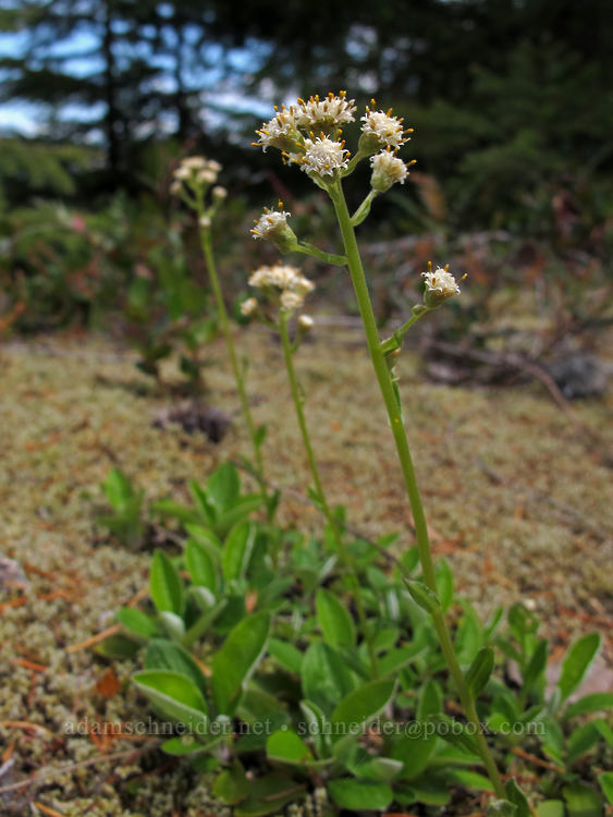 slender pussy-toes (Antennaria racemosa) [Elk Mountain Trail, Tillamook State Forest, Oregon]