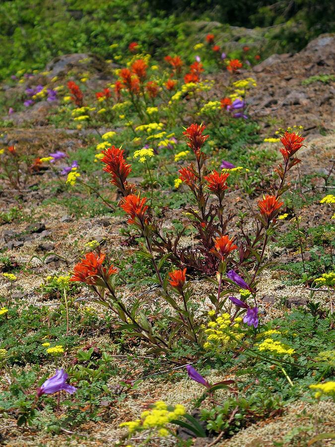 wildflowers (Castilleja hispida, Lomatium martindalei, Penstemon cardwellii) [Elk Mountain Trail, Tillamook State Forest, Oregon]