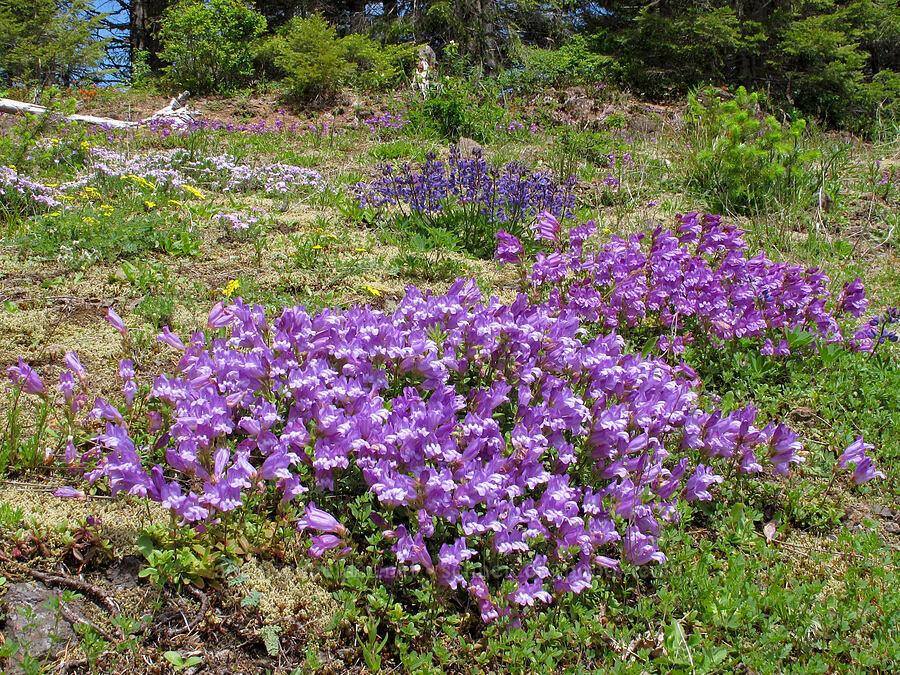 penstemon & lupines (Penstemon cardwellii, Lupinus latifolius) [Kings Mountain Trail, Tillamook State Forest, Oregon]