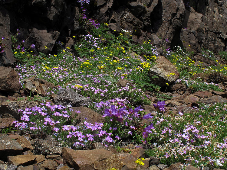 rock garden (Phlox diffusa, Lomatium martindalei, Penstemon cardwellii) [Kings Mountain Trail, Tillamook State Forest, Oregon]