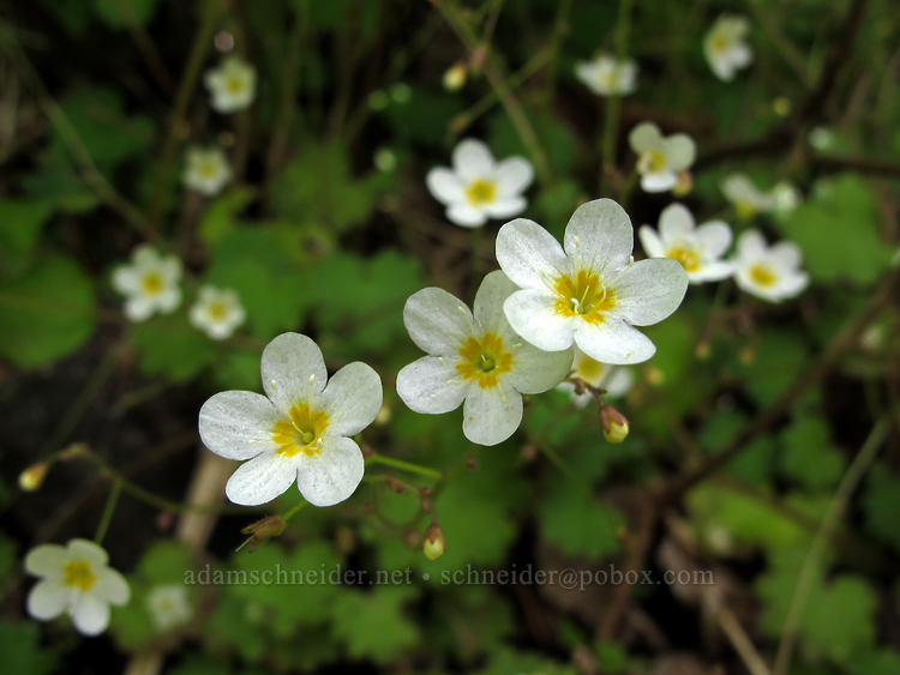 Sitka mist-maidens (Romanzoffia sitchensis) [Kings Mountain Trail, Tillamook State Forest, Oregon]