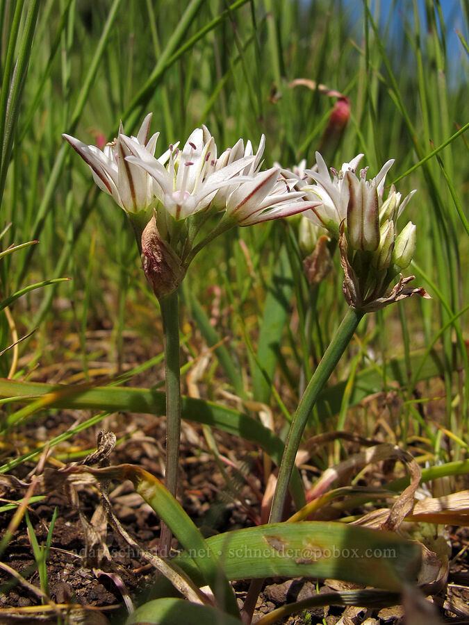 scalloped onion (Allium crenulatum) [Kings Mountain summit, Tillamook State Forest, Oregon]