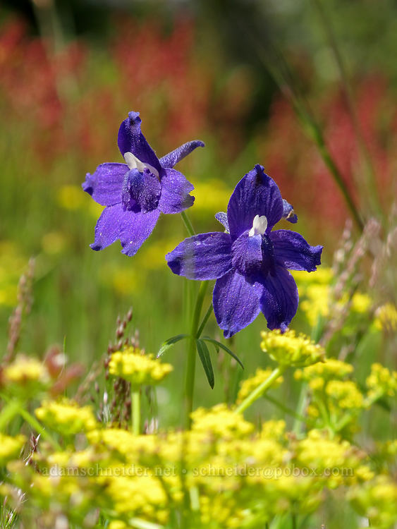 larkspur & desert parsley (Delphinium menziesii, Lomatium martindalei) [Kings Mountain summit, Tillamook State Forest, Oregon]