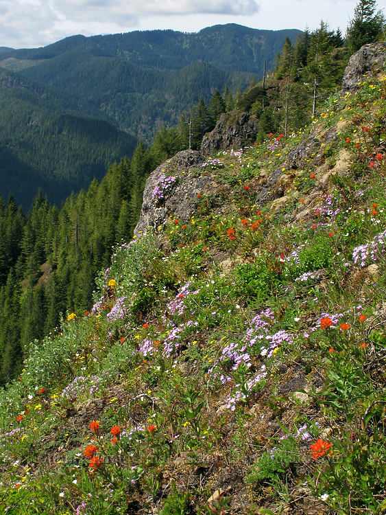 wildflowers [Kings Mountain Trail, Tillamook State Forest, Oregon]