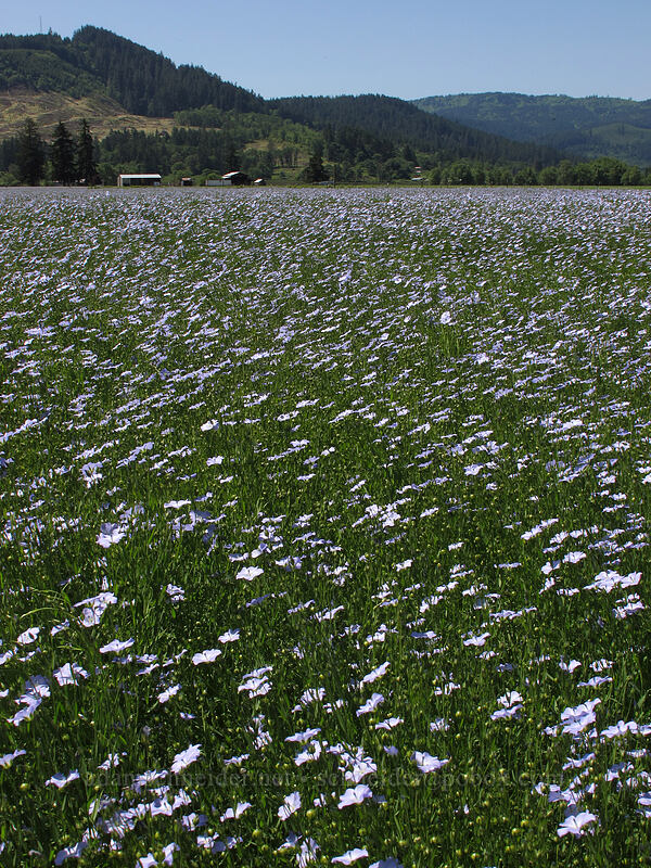 field of blue flax (Linum sp.) [Highway 228, Linn County, Oregon]