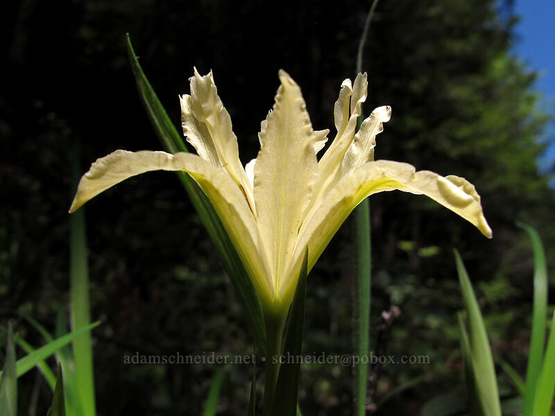 yellow-leaf iris (Iris chrysophylla) [Horse Rock Ridge trailhead, Linn County, Oregon]