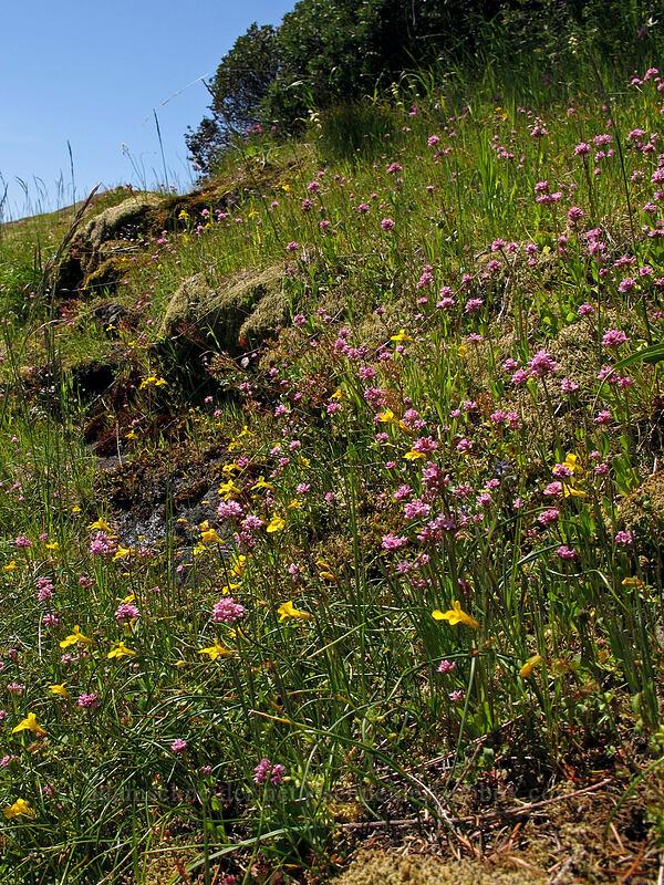 monkeyflower & rosy plectritis (Erythranthe sp. (Mimulus sp.), Plectritis congesta) [Horse Rock Ridge, Linn County, Oregon]