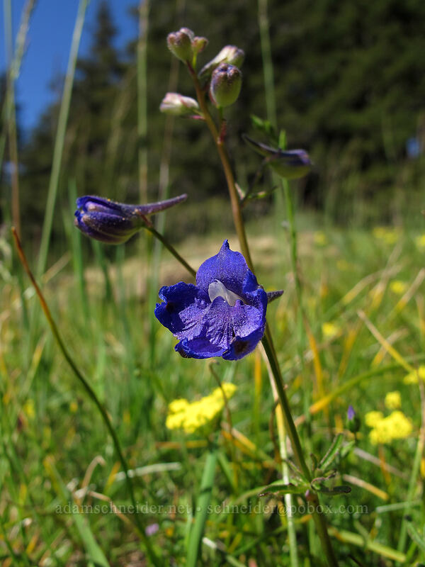 Menzies' larkspur (Delphinium menziesii) [Horse Rock Ridge, Linn County, Oregon]
