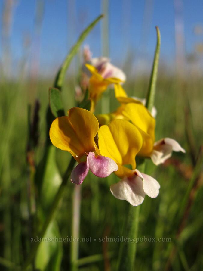 harlequin lotus (Hosackia gracilis (Lotus formosissimus)) [Meadowlark Prairie, Eugene, Oregon]
