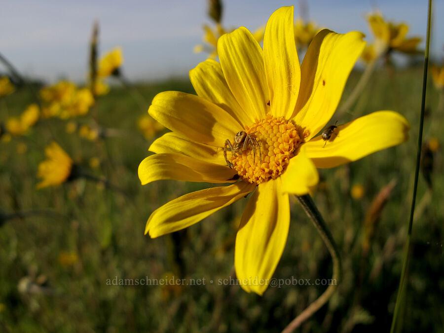 spider on Oregon sunshine (Eriophyllum lanatum) [Meadowlark Prairie, Eugene, Oregon]