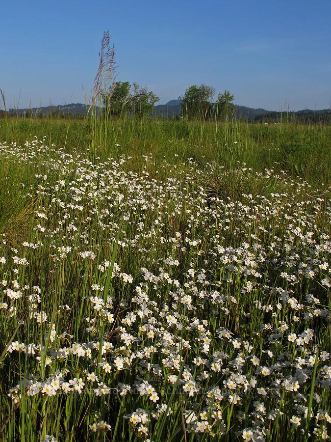 popcorn flower (?) (Plagiobothrys sp.) [Meadowlark Prairie, Eugene, Oregon]