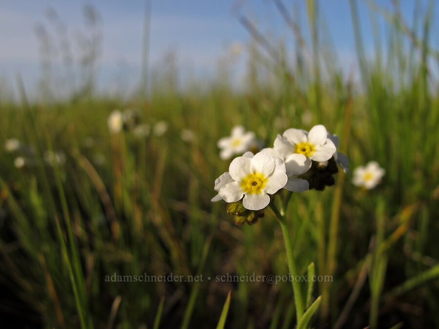 popcorn flower or cryptantha [Meadowlark Prairie, Eugene, Oregon]