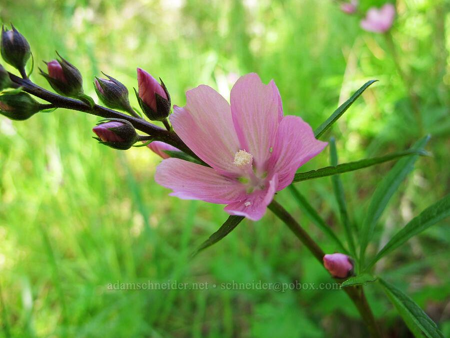 checker-mallow (Sidalcea sp.) [Trail 35, Howard Buford Recreation Area, Lane County, Oregon]