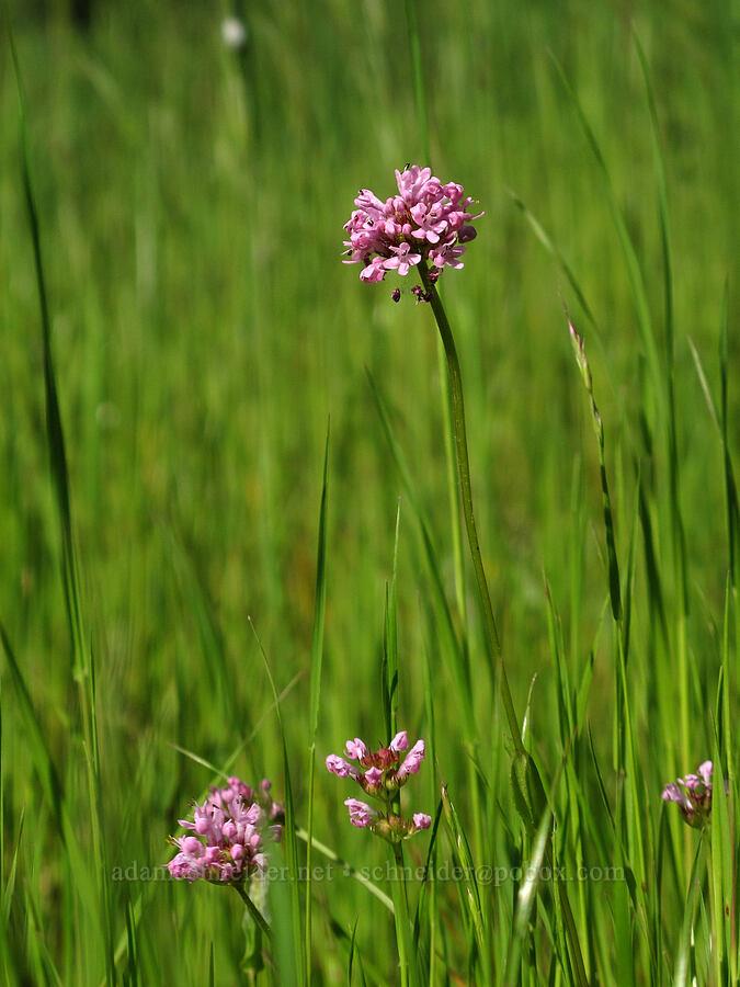 rosy plectritis (Plectritis congesta) [Trail 3, Howard Buford Recreation Area, Lane County, Oregon]