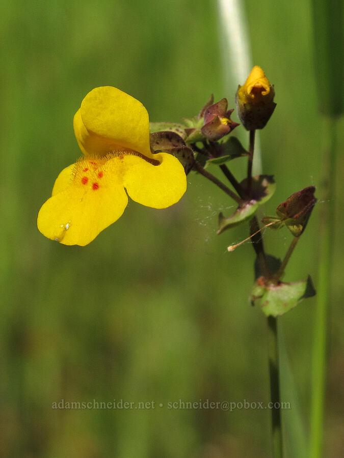 monkeyflower (Erythranthe guttata (Mimulus guttatus)) [Trail 3, Howard Buford Recreation Area, Lane County, Oregon]