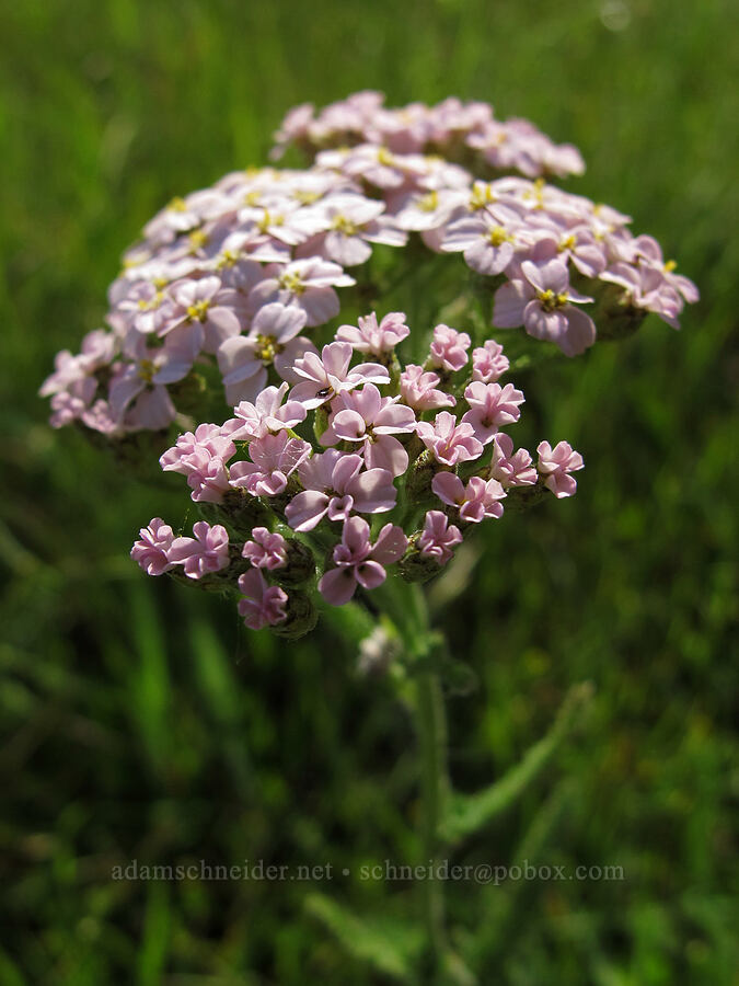 pinkish yarrow (Achillea millefolium) [Mt. Pisgah, Lane County, Oregon]