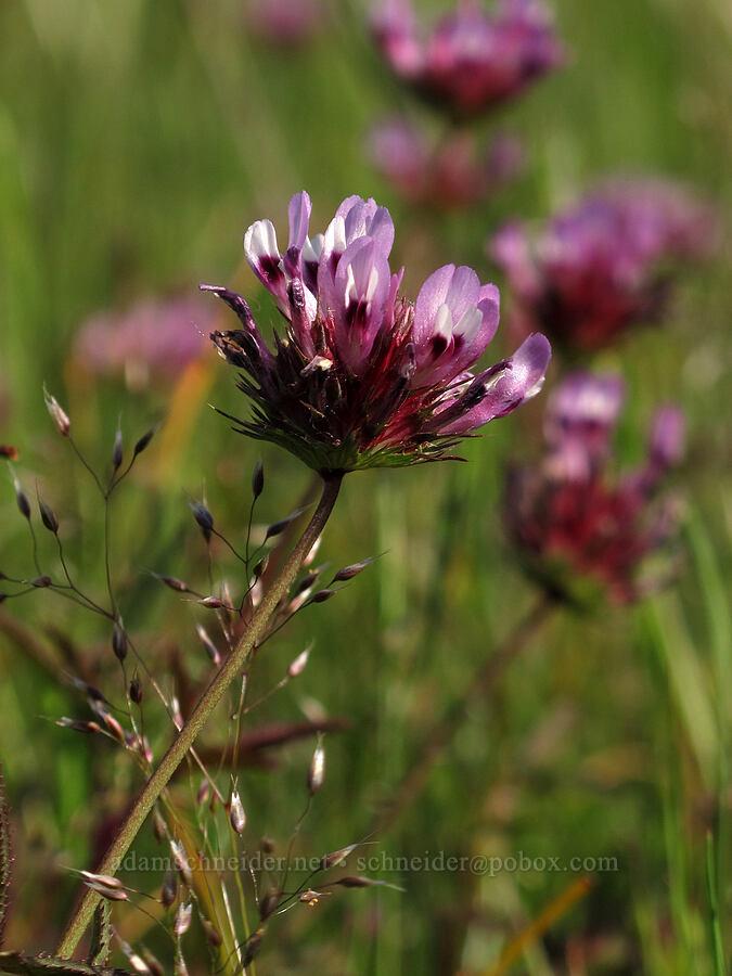 sand clover (Trifolium oliganthum) [Mt. Pisgah, Lane County, Oregon]