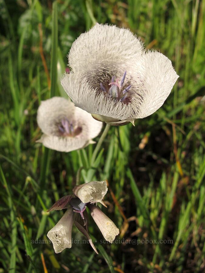 Tolmie's mariposa lily (Calochortus tolmiei) [Trail 1, Howard Buford Recreation Area, Lane County, Oregon]