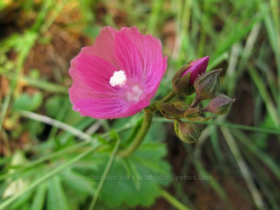 checker-mallow (Sidalcea sp.) [Trail 3, Howard Buford Recreation Area, Lane County, Oregon]