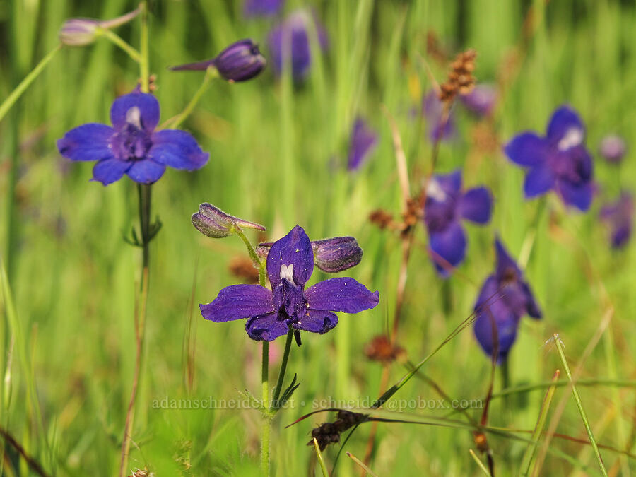 Menzies' larkspur (Delphinium menziesii) [Trail 3, Howard Buford Recreation Area, Lane County, Oregon]