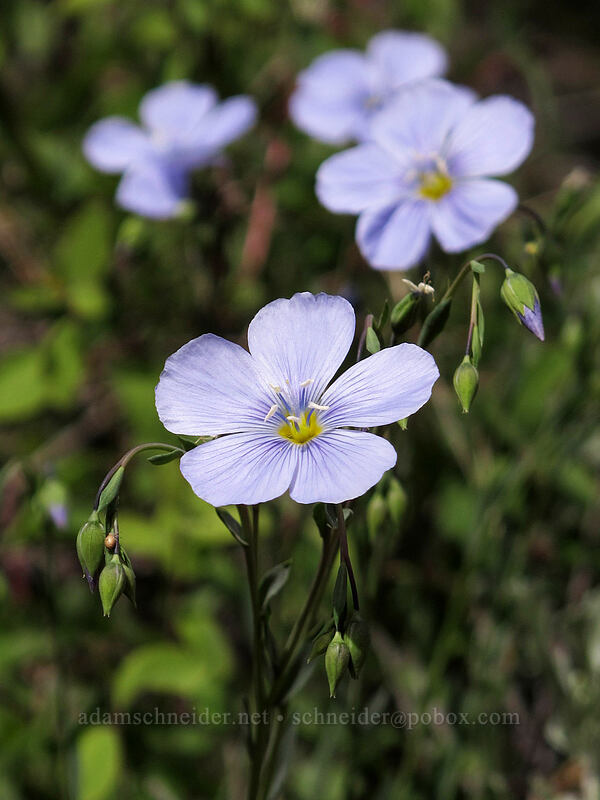 blue flax (Linum lewisii) [Pacific Crest Trail, Mokelumne Wilderness, California]