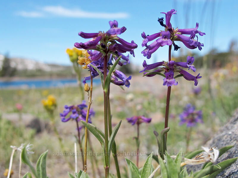 small-flowered penstemon (Penstemon procerus) [Frog Lake, Mokelumne Wilderness, California]