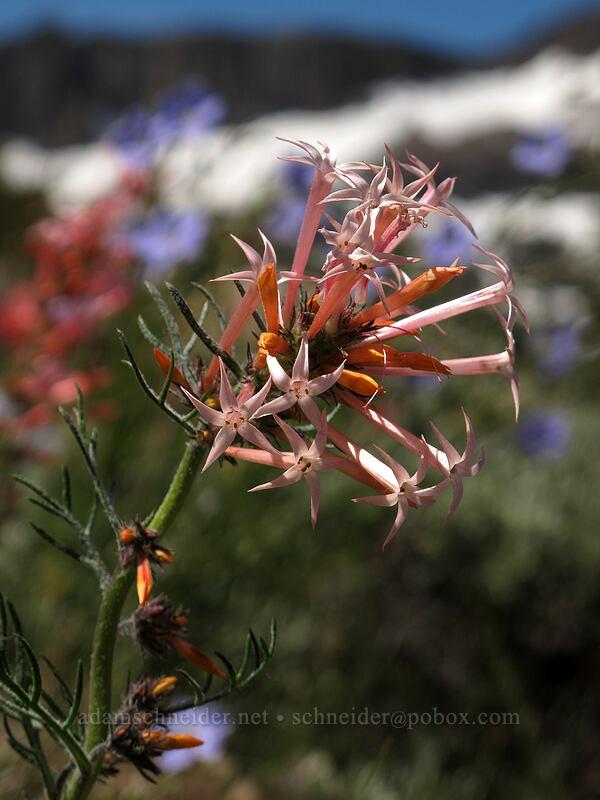 slender-tube skyrocket (Ipomopsis tenuituba) [Pacific Crest Trail, Mokelumne Wilderness, California]