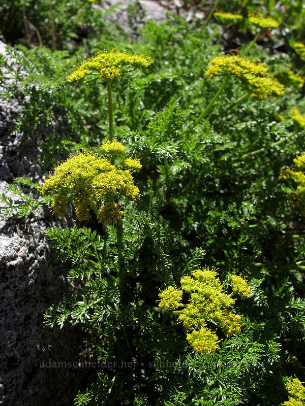 fern-leaved desert parsley (Lomatium dissectum) [Carson Pass-Winnemucca Lake Trail, Mokelumne Wilderness, California]