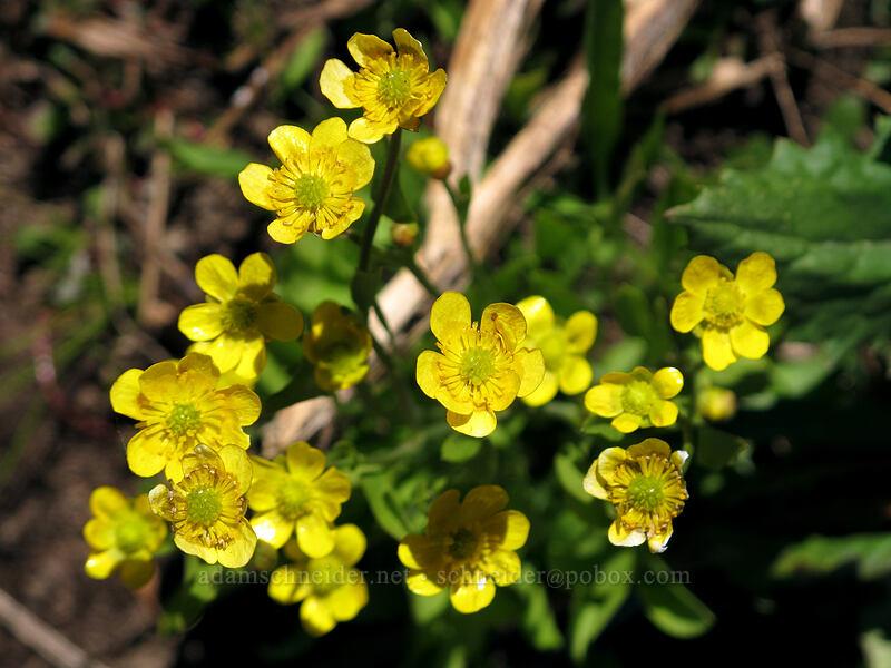 buttercups (Ranunculus sp.) [Carson Pass-Winnemucca Lake Trail, Mokelumne Wilderness, California]