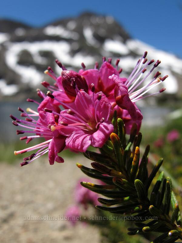 purple mountain heather (Phyllodoce breweri) [Carson Pass-Winnemucca Lake Trail, Mokelumne Wilderness, California]