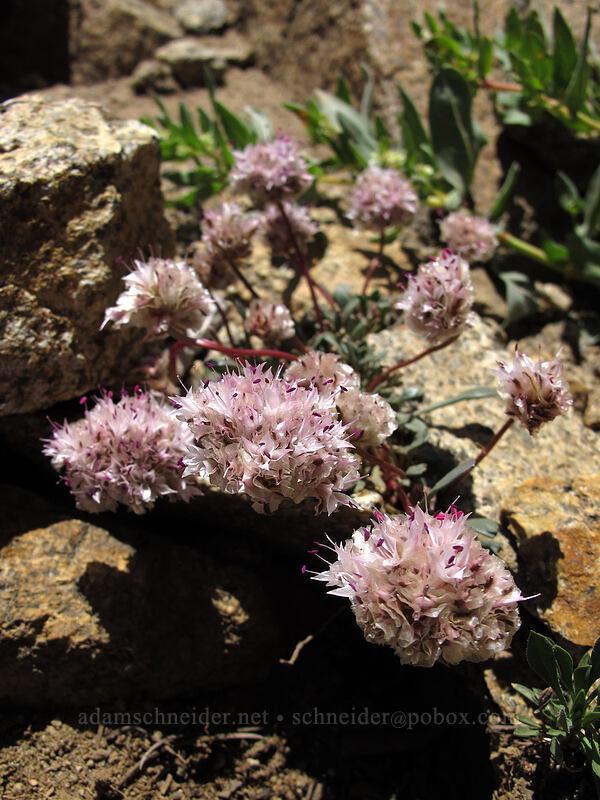 pussypaws (Calyptridium monospermum (Cistanthe monosperma)) [Winnemucca Lake-Round Top Lake Trail, Mokelumne Wilderness, California]