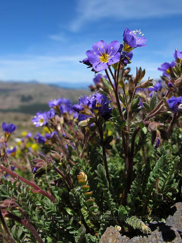 sky pilot (Polemonium pulcherrimum) [Round Top, Mokelumne Wilderness, California]