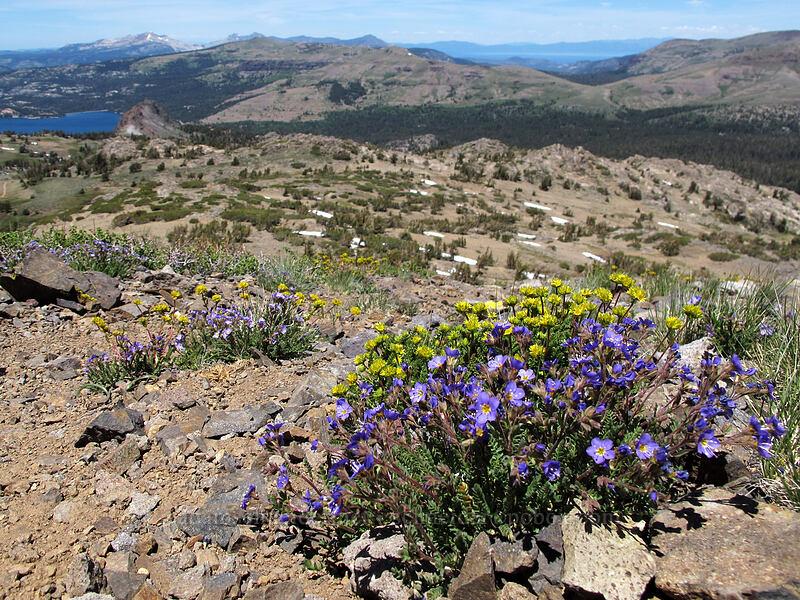 sky pilot & alpine ivesia (Polemonium pulcherrimum, Ivesia gordonii) [Round Top, Mokelumne Wilderness, California]