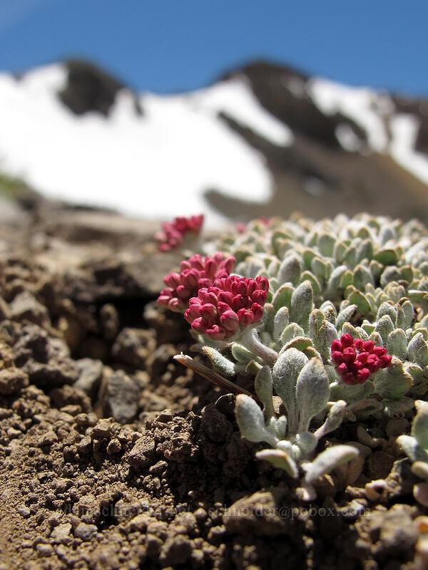 cushion buckwheat (Eriogonum ovalifolium) [Round Top, Mokelumne Wilderness, California]