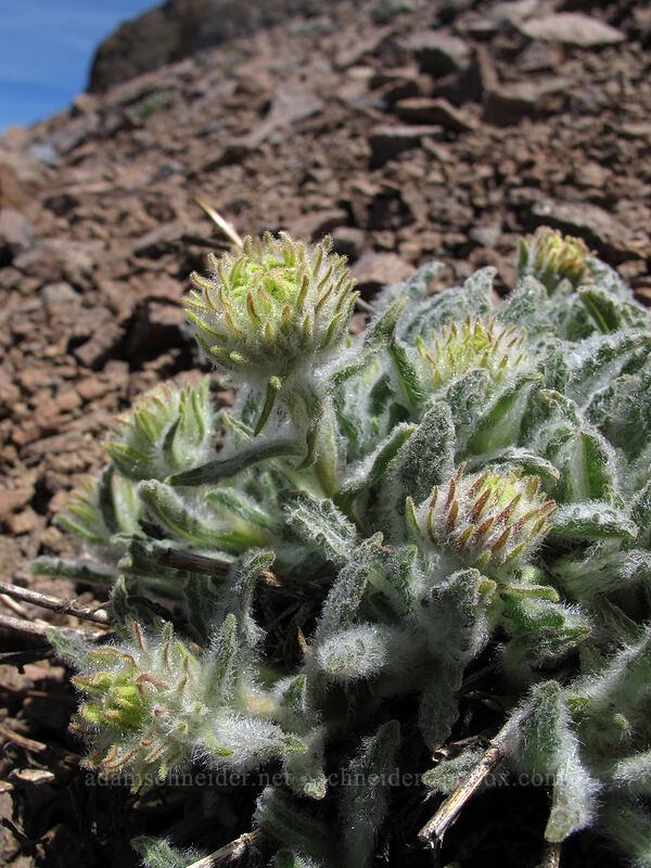 very hairy composite flower buds [Round Top, Mokelumne Wilderness, California]