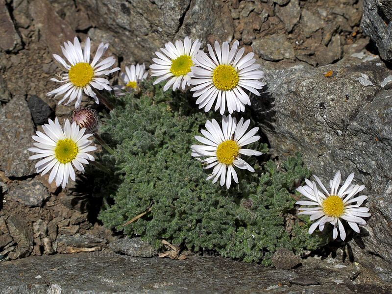cut-leaf daisy (Erigeron compositus) [Round Top summit, Mokelumne Wilderness, California]