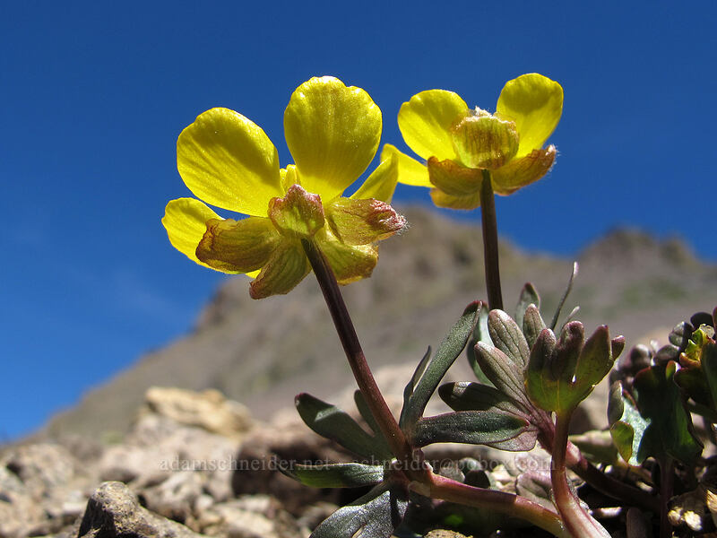 snow-patch buttercup (Ranunculus eschscholtzii) [Round Top, Mokelumne Wilderness, California]