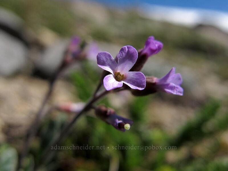 Lemmon's rock-cress (Boechera lemmonii (Arabis lemmonii)) [Round Top, Mokelumne Wilderness, California]