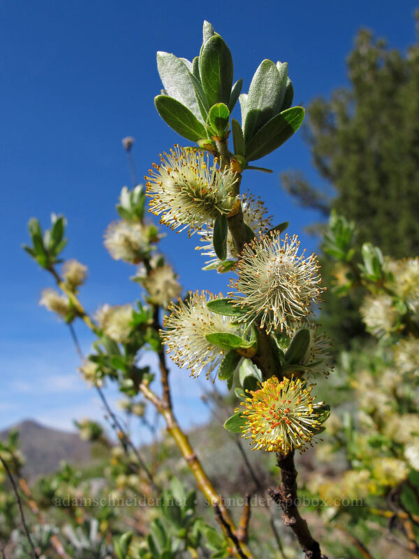 willow (Salix sp.) [Woods Lake-Winnemucca Lake Trail, Mokelumne Wilderness, California]