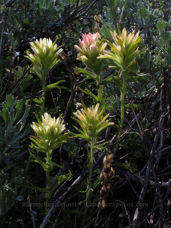 alpine paintbrush (Castilleja nana) [Woods Lake-Winnemucca Lake Trail, Eldorado National Forest, California]