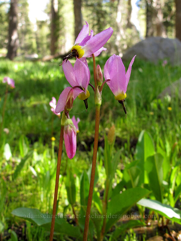 alpine shooting stars (Dodecatheon alpinum) [Woods Lake-Winnemucca Lake Trail, Eldorado National Forest, California]