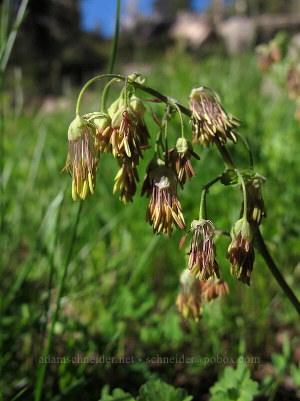 Fendler's meadow-rue (Thalictrum fendleri) [Woods Lake-Winnemucca Lake Trail, Eldorado National Forest, California]