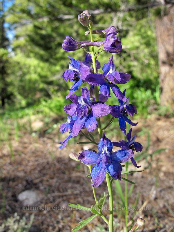 larkspur (Delphinium nuttallianum) [Alpine County Road 122, Eldorado National Forest, California]
