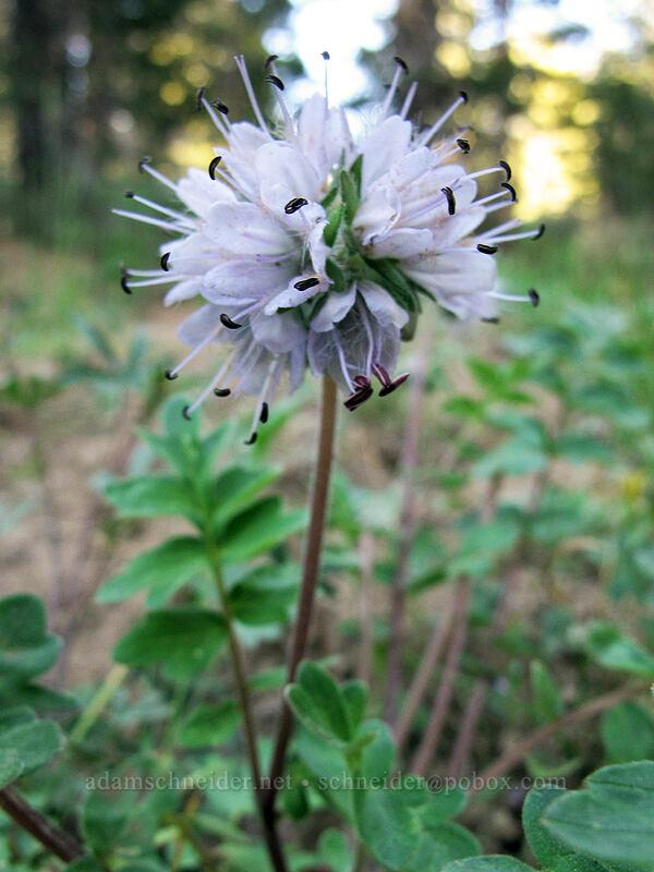 western waterleaf (Hydrophyllum occidentale) [Indian Valley, Toiyabe National Forest, California]