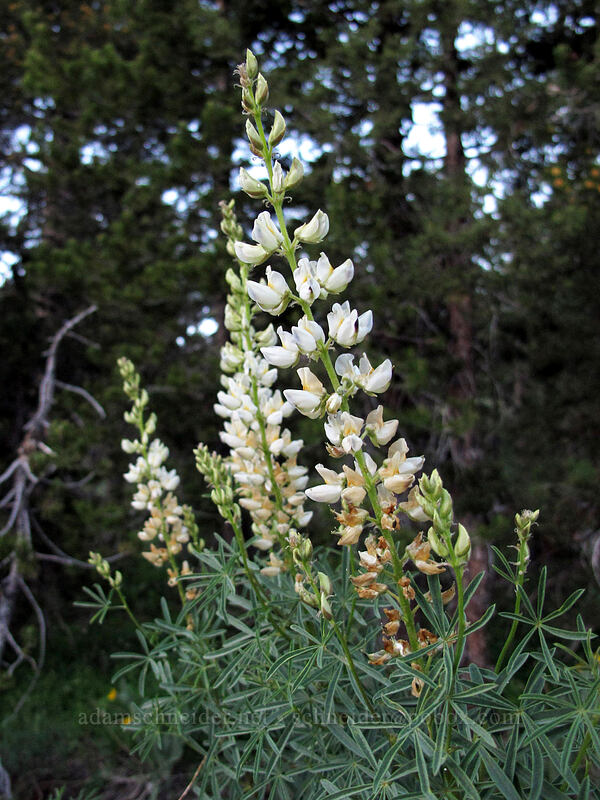 white lupine (Lupinus sp.) [Blue Lakes Road, Toiyabe National Forest, California]