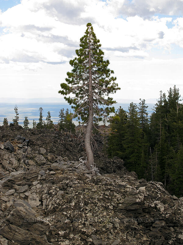 pine growing in a lava flow (Pinus sp.) [Glass Mountain, Modoc National Forest, California]